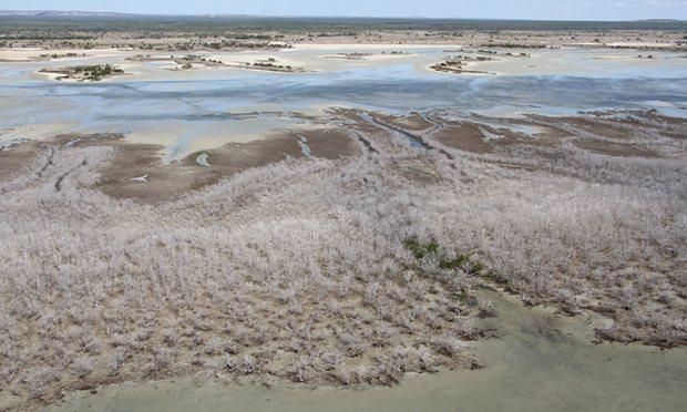 Mangrove die-off Norm Duke 5184