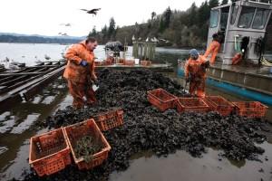 Mussel harvest Taylor Shellfish Farms WA