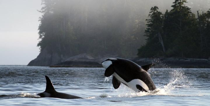 cetacealab_orca at Gil Island