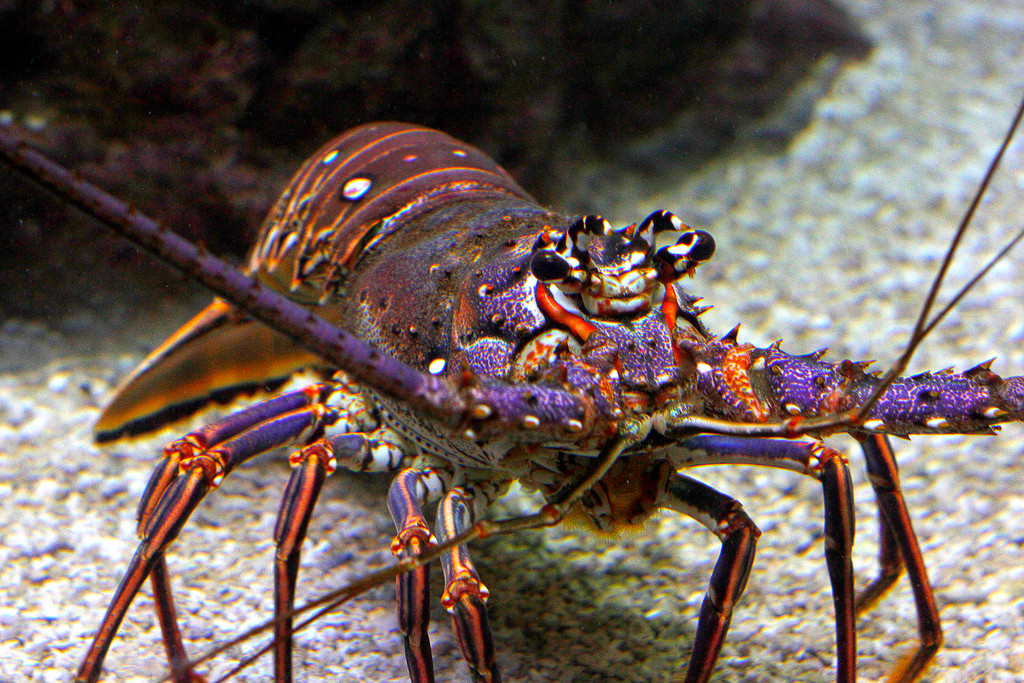 lobster twagnerskier1 flickr 7677878584_cb9a49e9f5_b