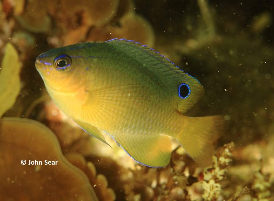 pomacentrus-amboinensis