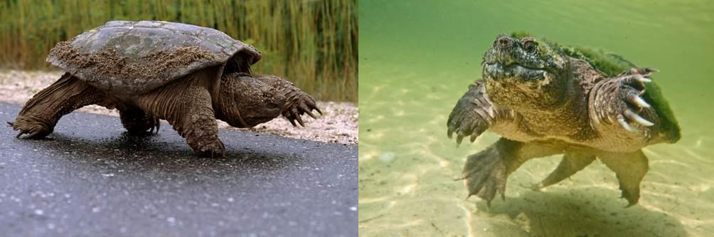 snapping turtles walk & swim