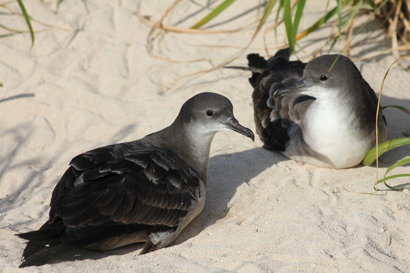 wedge-tailed_shearwaters_ianthomas